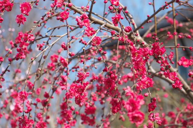 種から育てた新府の桃と花桃-05