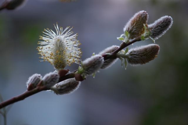 花咲くネコヤナギ-03