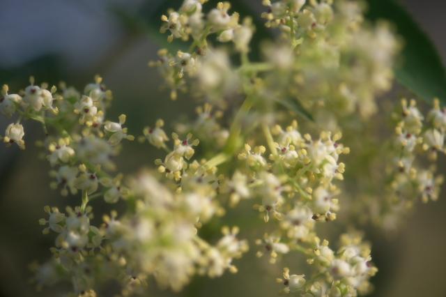 ニワトコの花-02