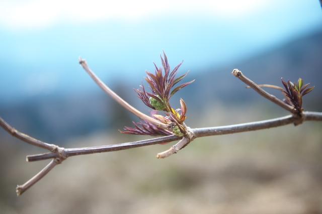 ニワトコの新芽の展開-05