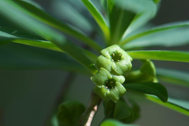 オニシバリの小花-03