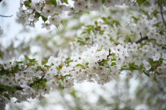 大島桜-03