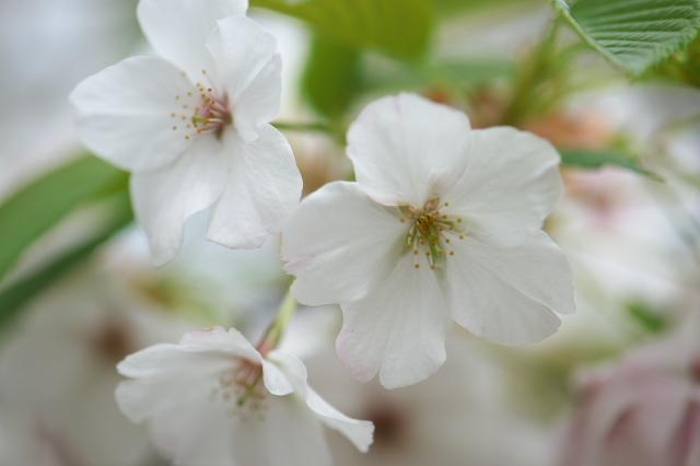 大島桜-05