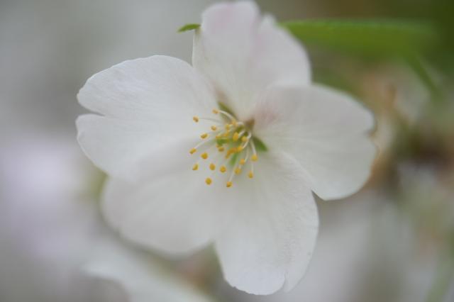 大島桜-06