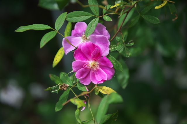 Rosa Palustris semi plena-00