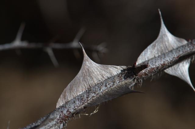 Rosa.sericea Pteracantha-04