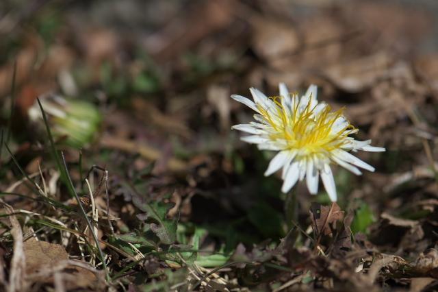 白花タンポポ-01