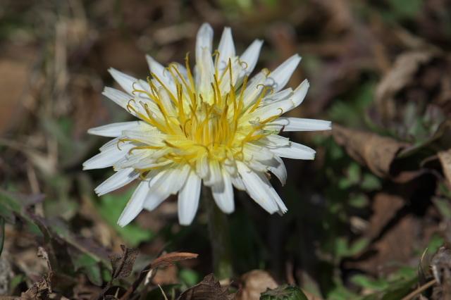 白花タンポポ-02
