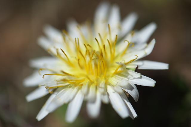白花タンポポ-03