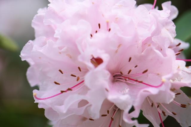 ピンクの西洋シャクナゲ-03