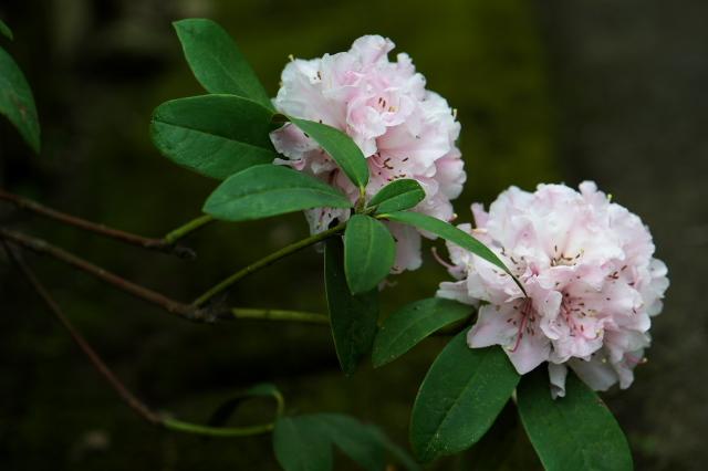 ピンクの西洋シャクナゲ-04