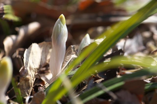 シュンランの花芽-03