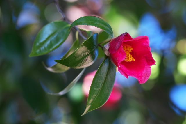 藪ツバキの開花-02