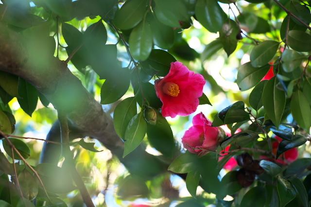 藪ツバキの開花-03