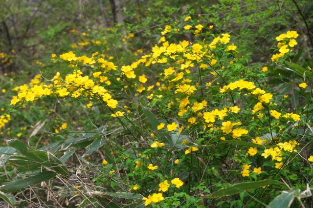 山吹の開花