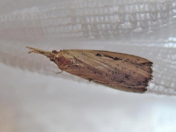 オスグロホソバアツバ雌