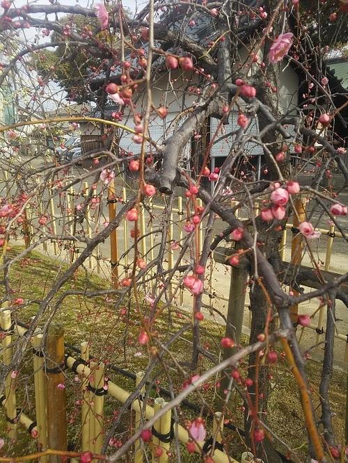華表神社の紅梅