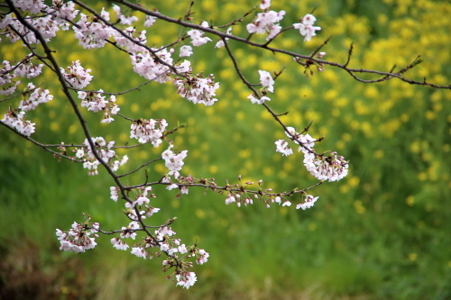 菜の花の背景
