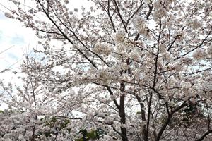 郡山城2017桜