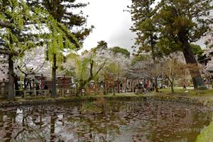 奈良公園2017春