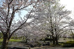 けいはんな記念公園の桜2017