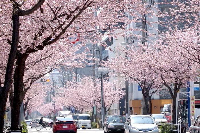t高岳大寒桜