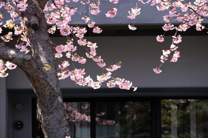 高岳の大寒桜