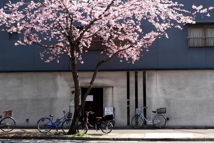 高岳大寒桜