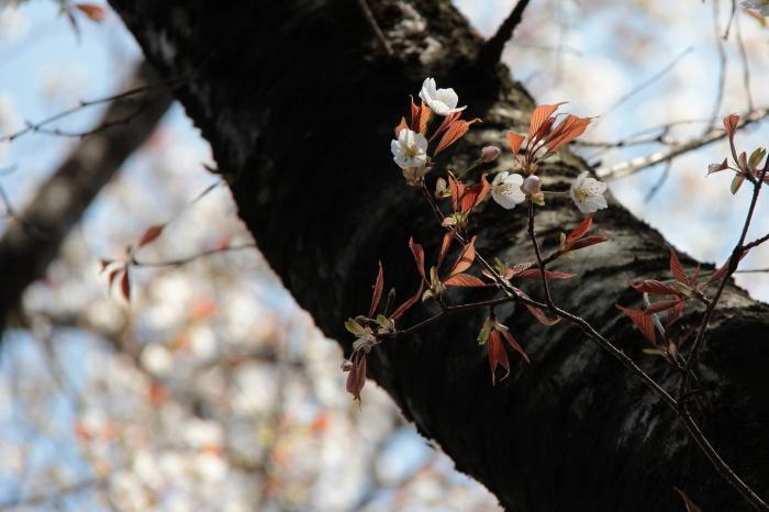 相生山緑地山桜