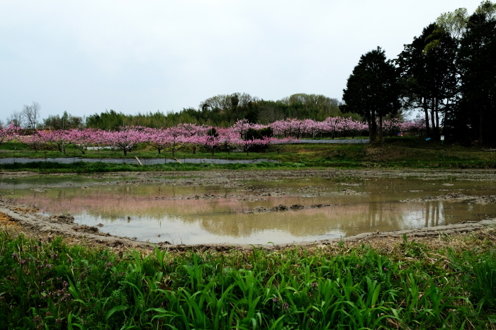 猿投桃の花