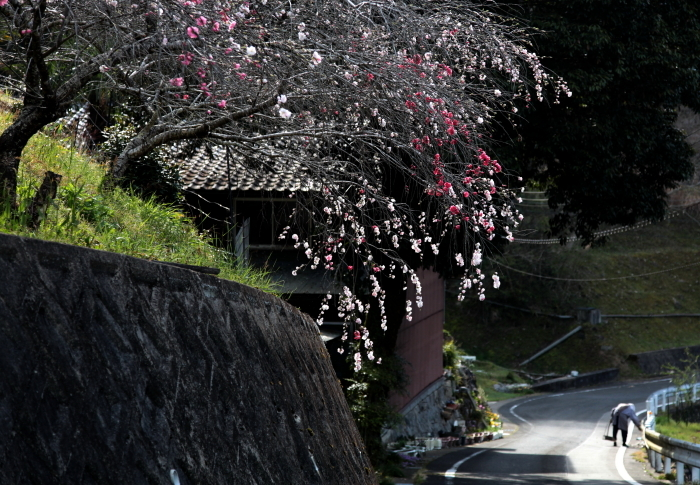 豊田市田津原しだれ桜