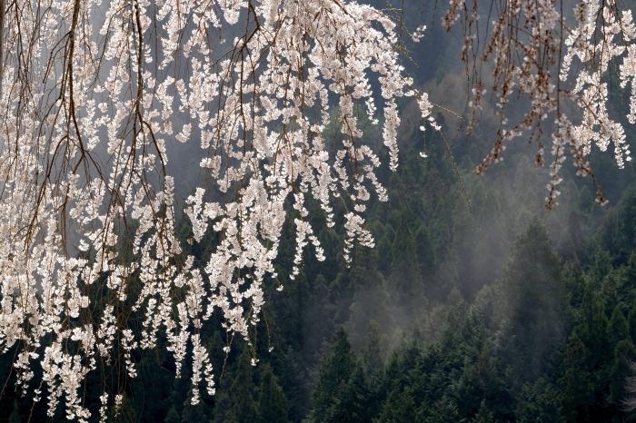 大安寺しだれ桜