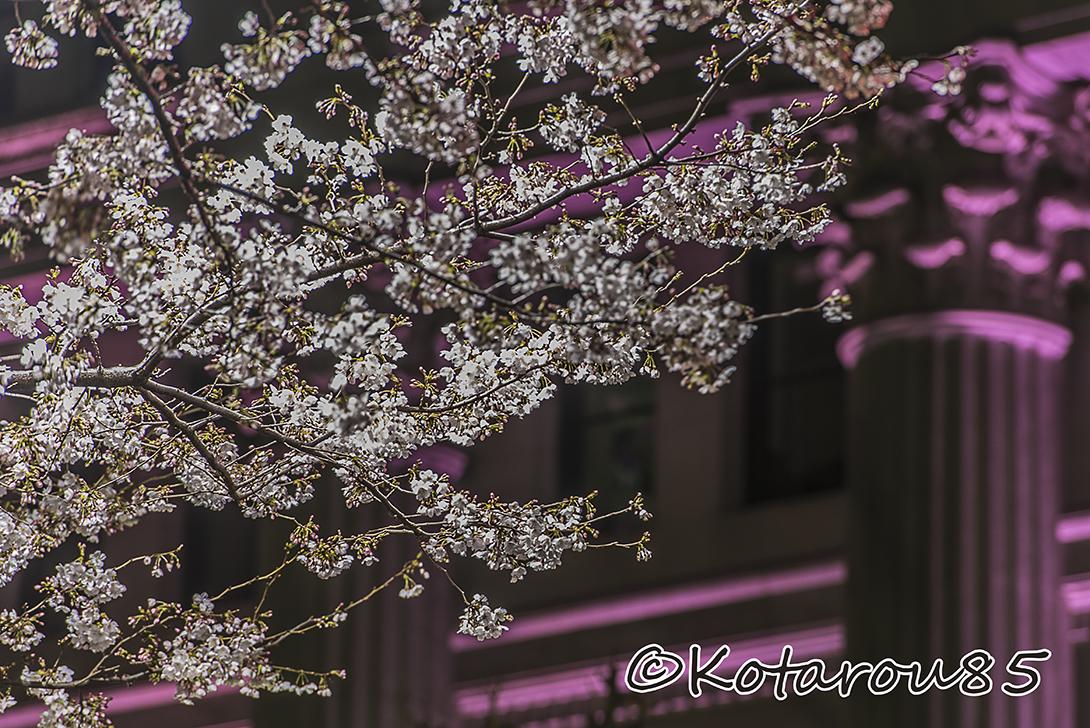 桜咲く日曜深夜の日銀本店4 20170403