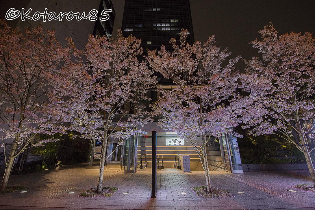 身近な桜 20170409
