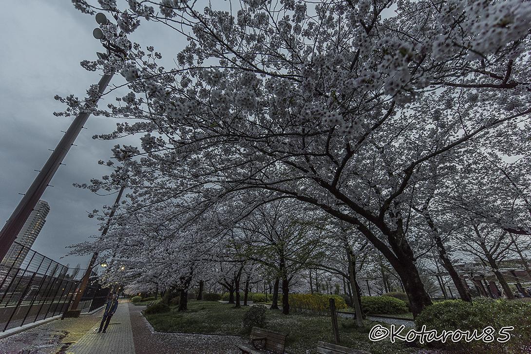 桜と雨 20170410