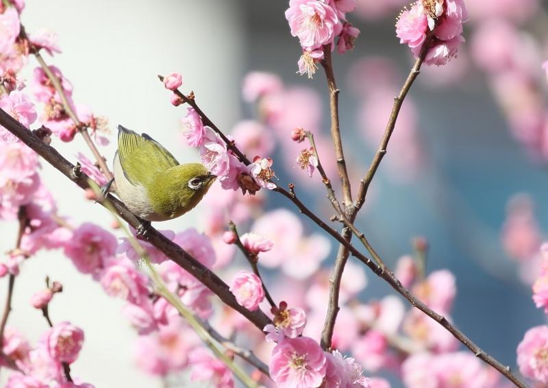 梅にメジロA91K5712