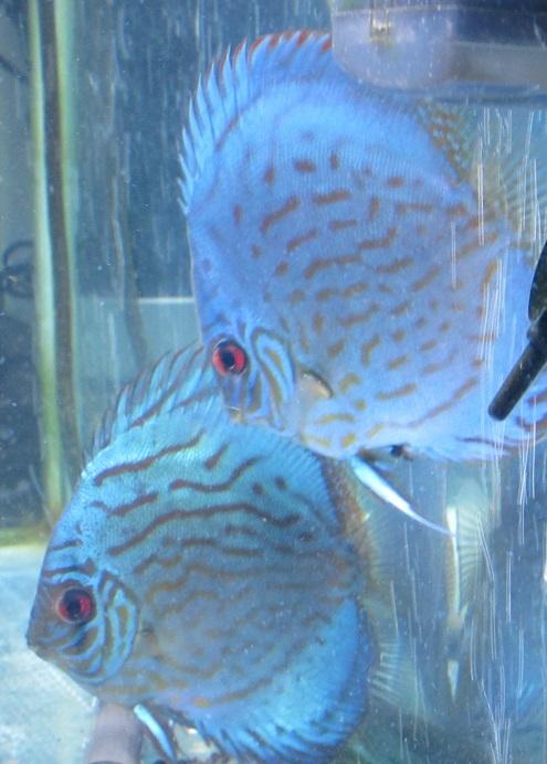 Pセルーリア若魚 白色灯の下でも光沢の有る深い青