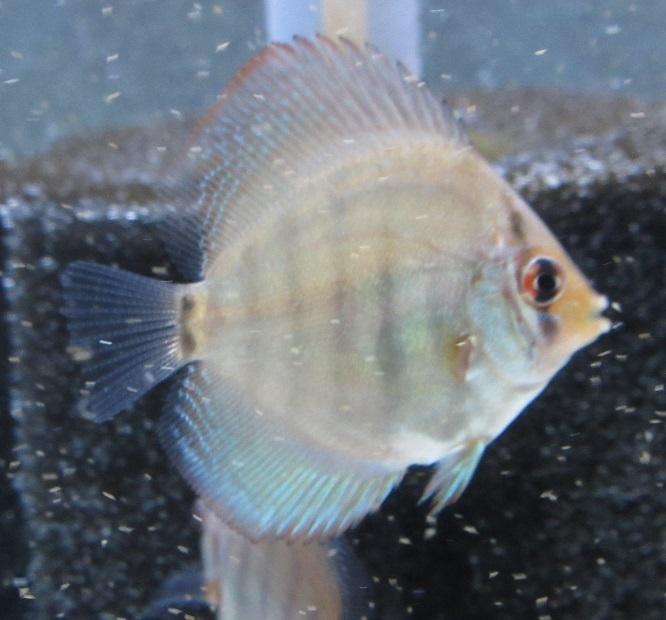 新Bi JWS幼魚