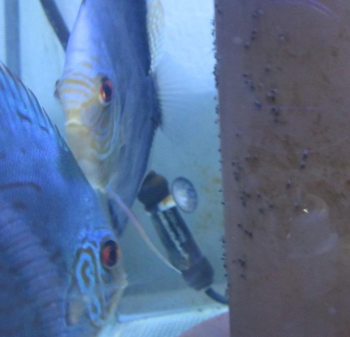 Pセルーリア若ペア稚魚 孵化後1日半
