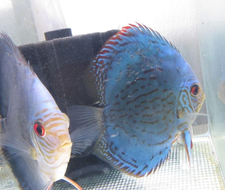 Pセルーリア稚魚体着2日目