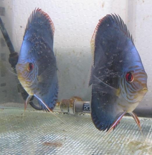 Pセルーリア稚魚 体着三日目