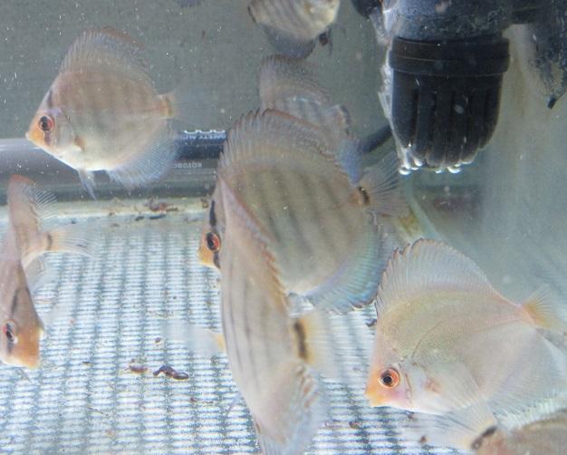 0311新Bi JWS幼魚 2