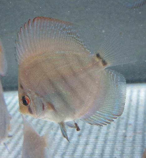 0311新Bi JWS幼魚 1