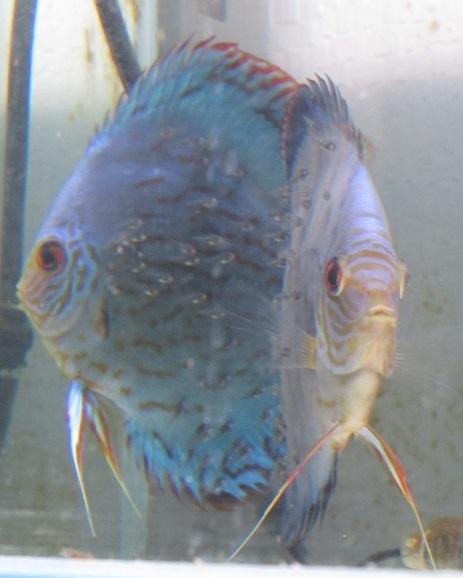 Pセルーリア稚魚 体着六日目