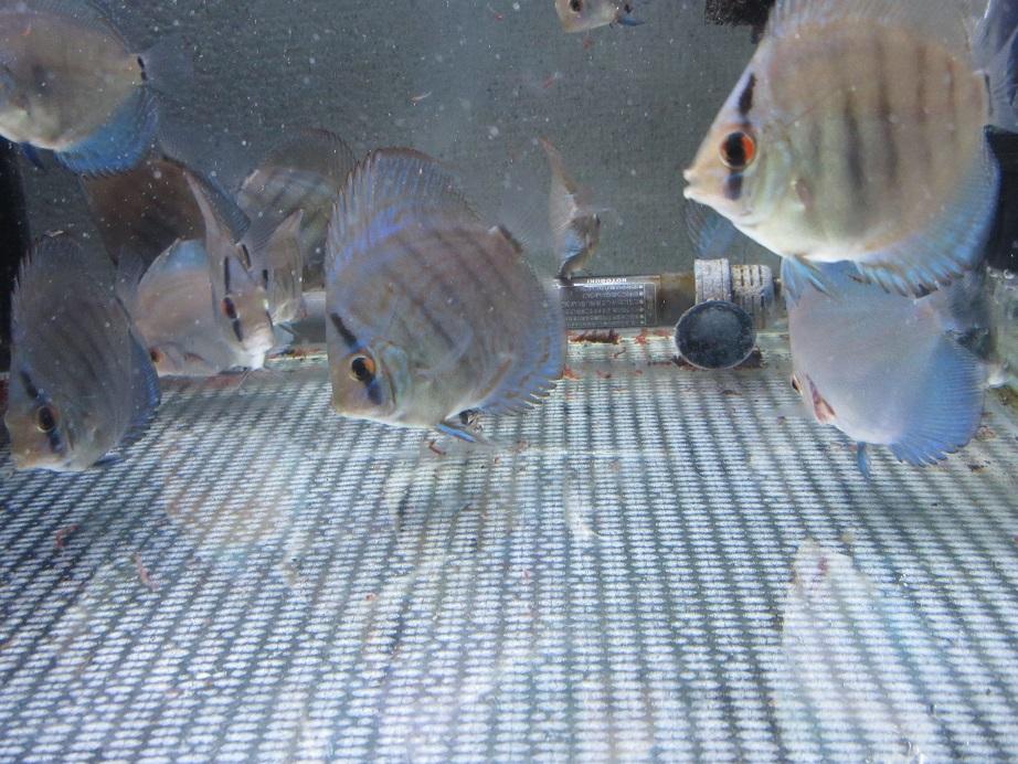 新Bi JWS幼魚徐々に体高が出て来ました。