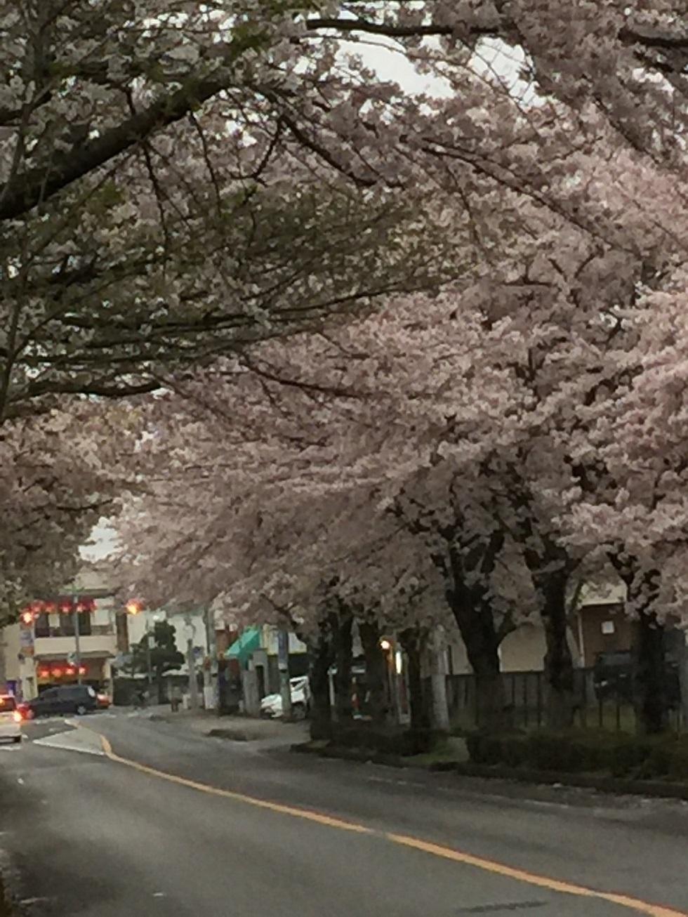 20170407柏の桜
