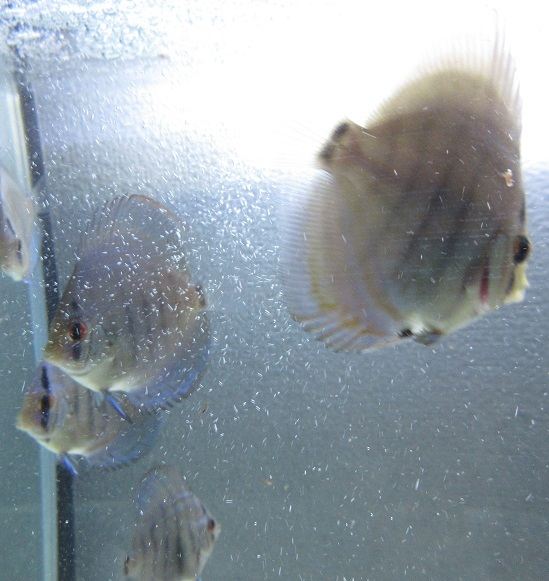 新Bi JWS幼魚2