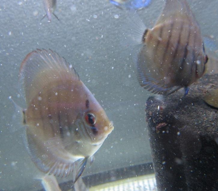 新Bi JWS幼魚1