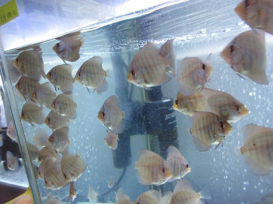 生後1ケ月20日 Pセルーリア幼魚①