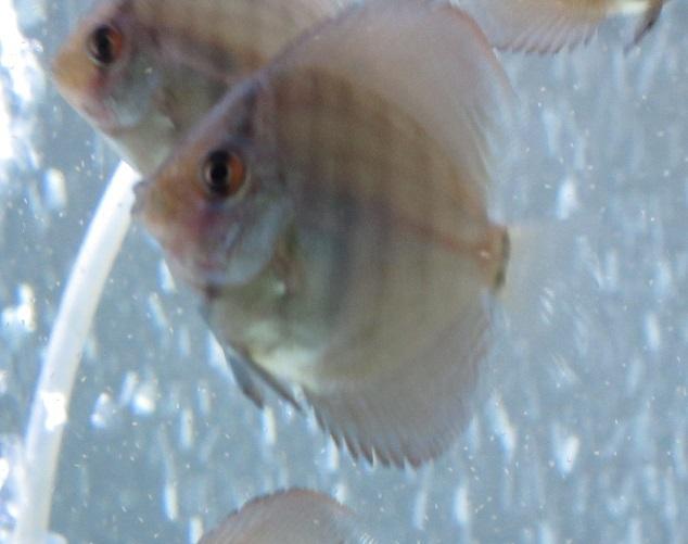 生後1ケ月20日 Pセルーリア幼魚②